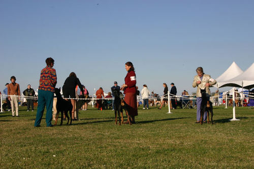 -- shows dogs pinschers dobe events dog event people dobes