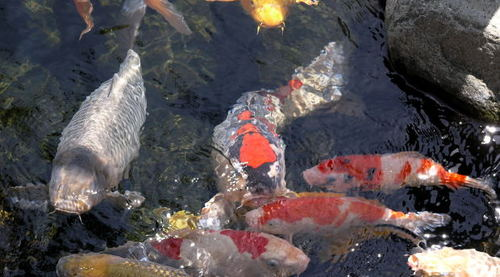-- san pond garden park diego fish friendship california koi balboa japanese