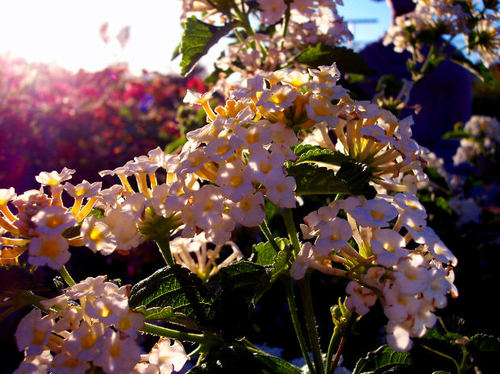-- sunlight sunrays plant lantana flowers blooms bloom sunray plants flower inspiration