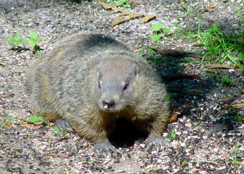 -- hibernate varmint shadow pest woodchuck fur groundhog guess predict forecast phil hibernation