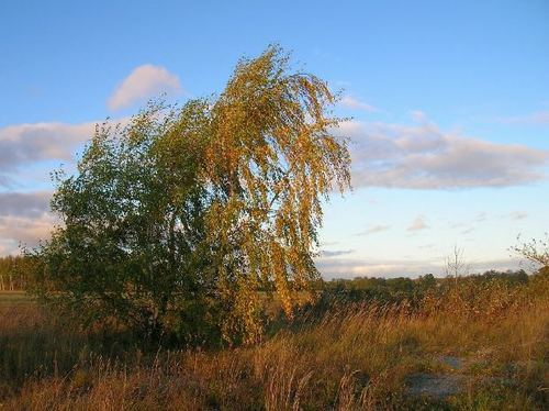 -- autumn landscape birch fall tree