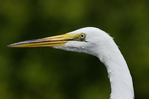 -- white egret waterfowl swamp beak bokeh bird zoo wetlands florida feathers wildlife