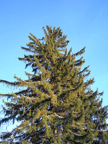 -- ohio frosty pataskala snow cold outdoor winter pine frozen tree